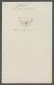 Cabera - Print - Iconographia Zoologica - Special Collections University of Amsterdam - UBAINV0274 058 01 0025.tif