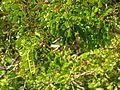 Caesalpinia in Celestún Estuary - Flickr - treegrow (8).jpg