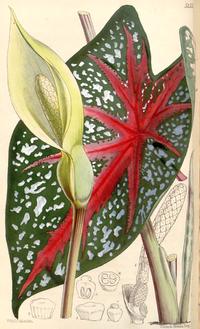 Caladium bicolor CBM