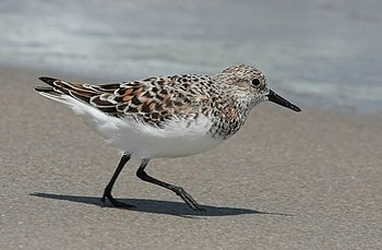 A running sanderling captured in mid stride. F...