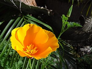 Papaveraceae - California poppy (Eschscholzia californica)