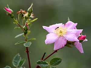 Rosa californica - Image: California wild rose