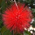 Calliandra carbonaria (2).jpg