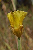 Calochortus luteus-6.jpg