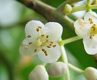Calophyllum brasiliense flower