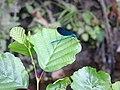 Calopteryx virgo (male).002 - Arteixo.jpg