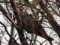 Calyptorhynchus lathami -Mount Ainslie, Canberra, Australia -female-8.jpg