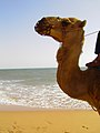 Camel by the sea (15126575604).jpg