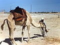 Camel viewing at Dhahran Air Base.jpg
