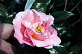 Camellia japonica Pink Icicle 7zz.jpg