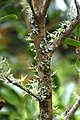 Camellia sasanqua 'Setsugekka' in Auckland Botanic Gardens 01.jpg