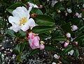 Camellia sasanqua (8388007322).jpg
