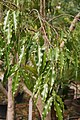 Camellia tsaii IMG 3060.jpg