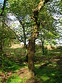 Camperdown Elm, Spier's Old School Grounds.JPG