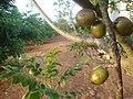 Campo Verde - State of Mato Grosso, Brazil - panoramio.jpg