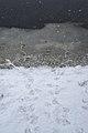 Canadian Beaver (Castor canadensis) Tracks - Guelph, Ontario.jpg
