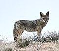 Canis latrans Mar 23 2021A61I7433 (51065895258).jpg
