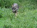 Canis lupus Parc Alpha 004.jpg