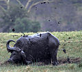 Cape buffalo in the mud.jpg