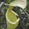 Capture property of the digestive fluid of Nepenthes rafflesiana (cropped).png