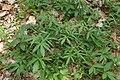 Cardamine bulbifera kz10.jpg