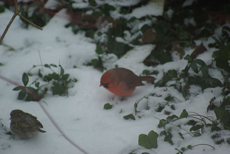 File:Cardinal and sparrow foraging.jpg
