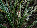 Carex morrowii 2016-04-03 6866.JPG