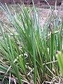 Carex paniculata plant (22).jpg