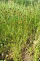 Carex praecox kz04.jpg