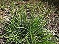 Carex sylvatica plant (14).jpg