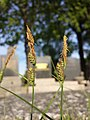 Carex tomentosa sl21.jpg