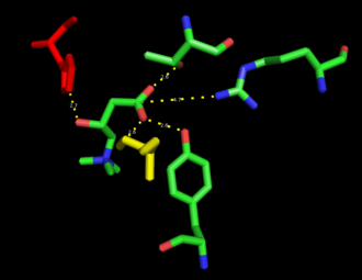 Carnitine palmitoyltransferase I - Carnitine bound in the catalytic site of CRAT, an enzyme homologous to CPT1. The catalytic histidine and stabilizing serine residues are colored orange.
