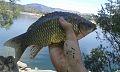 Carpín pescado a Feeder.jpg