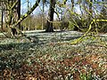 Carpets of Snowdrops - geograph.org.uk - 1188624.jpg