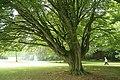 Carpinus betulus 'Fastigiata' JPG1.jpg