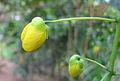 Cassia fistula Bud.jpg