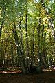 Castañar de El Tiemblo (30 de octubre de 2016, Reserva natural del Valle de Iruelas, El Tiemblo) 02.jpg