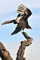Cathartes aura -Santa Teresa County Park, San Jose, California, USA -adult-8a.jpg