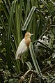 Cattle egret (Bubulcus ibis) from Ranganathittu Bird Sanctuary JEG4308.JPG