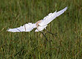 Cattle egret 1 (21829309875).jpg