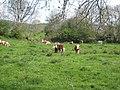 Cattle near Kesh - geograph.org.uk - 798192.jpg