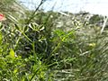 Caucalis platycarpos subsp. platycarpos sl4.jpg