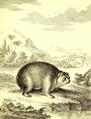 Cavia capensis Pallas 1766.png