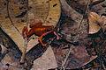 Cayenne Stubfoot Toad (Atelopus flavescens) (10745464154).jpg