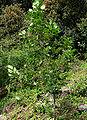 Ceanothus arboreus 1.jpg