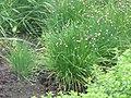 Cebollas de pito - Allium schoenoprasum.jpg