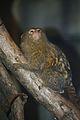 Cebuella pygmaea at the Bronx Zoo 001.jpg