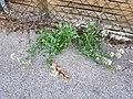 Centranthus ruber sl1.jpg