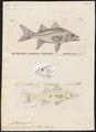 Centropomus undecimalis - - Print - Iconographia Zoologica - Special Collections University of Amsterdam - UBA01 IZ12900120.tif