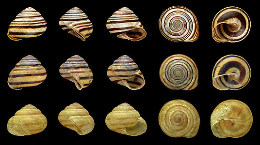 The main banding types of the Viennese Banded Snail